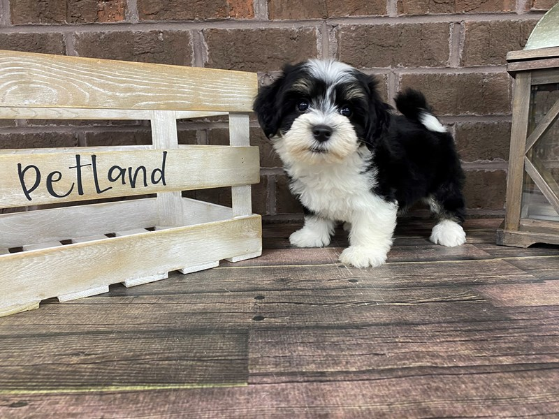 Havanese-Female-BLACK WH-2801086-Petland Knoxville