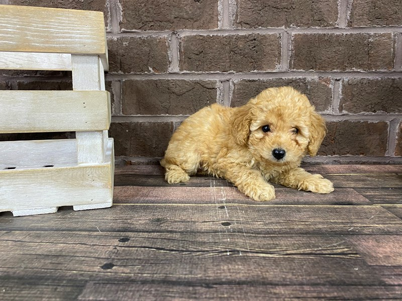 Miniature Poodle-Female-RED-2808179-Petland Knoxville