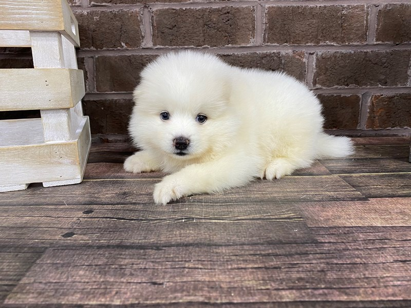 Pomsky-Male-CREAM WHITE-2808205-Petland Knoxville