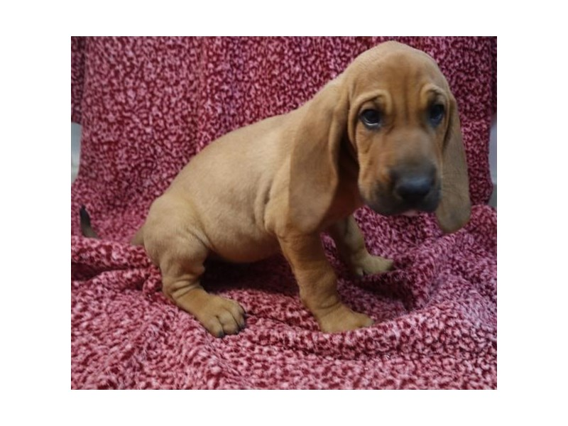 Bloodhound-Male-Red-2789981-Petland Knoxville