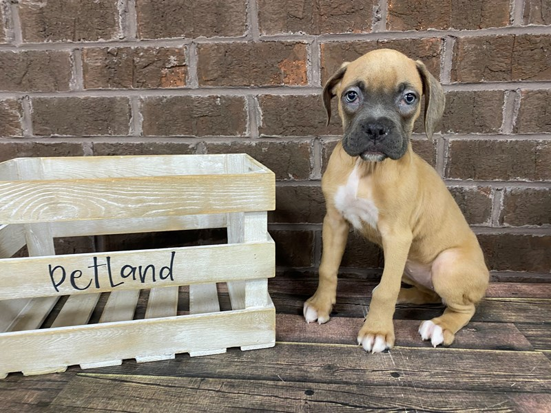 Boxer-Female-Lilac & White-2808339-Petland Knoxville