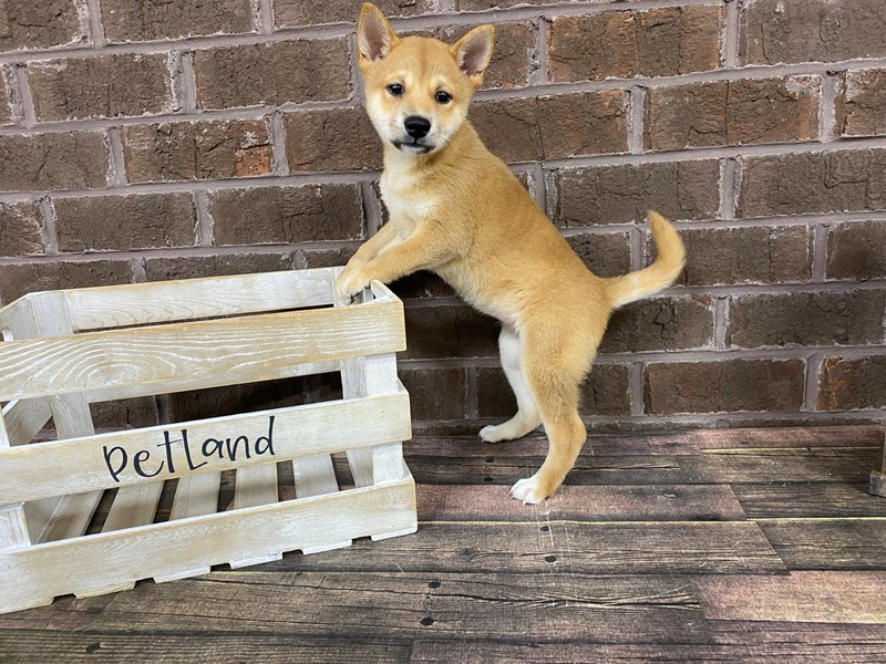 Shiba Inu-Female-Red Sesame-2812535-Petland Knoxville