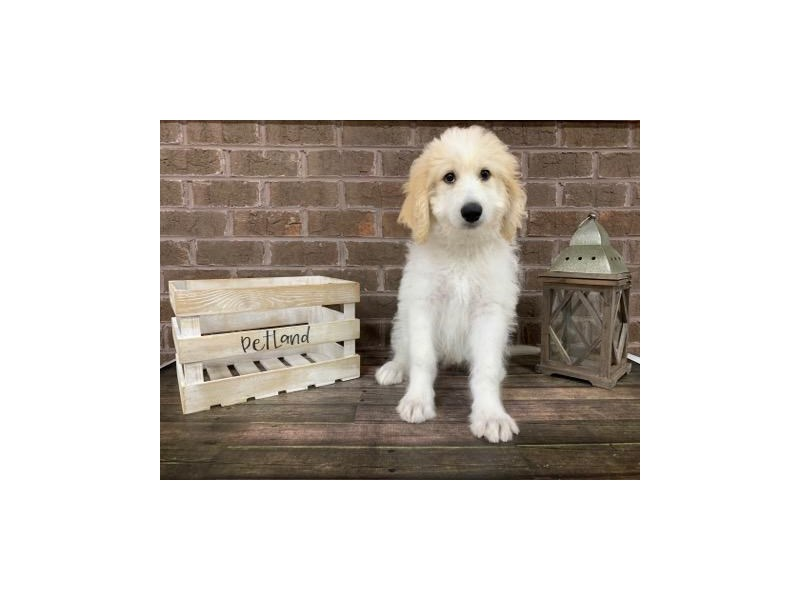Goldendoodle-Male-Cream/White-2814321-Petland Knoxville