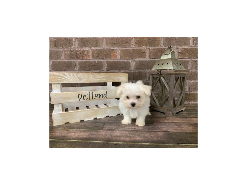 Maltese-Male-White-2821542-Petland Knoxville