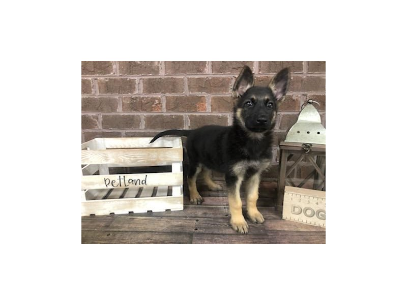 German Shepherd-Female-Blk & Tn-2826904-Petland Knoxville