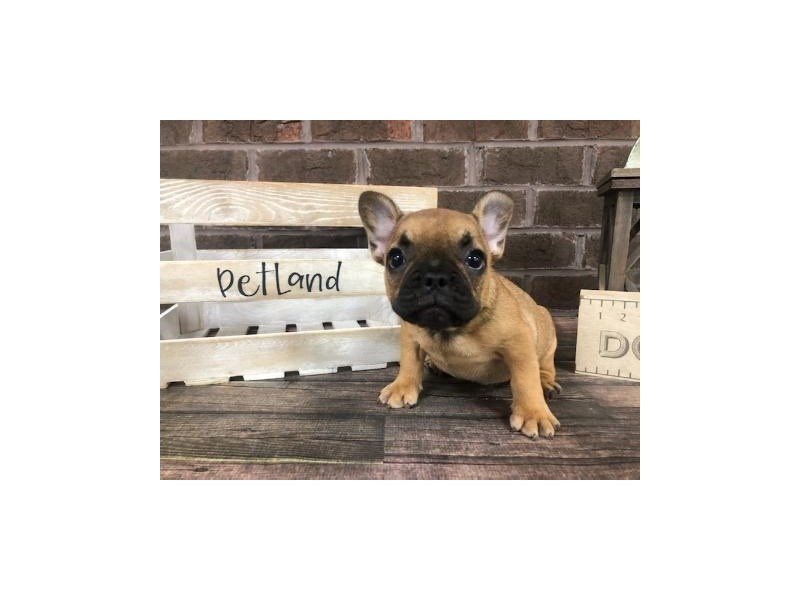 French Bulldog-Male-Fawn-2828036-Petland Knoxville