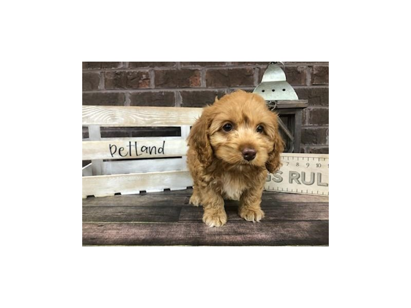 Cockapoo-Male-Red-2826864-Petland Knoxville