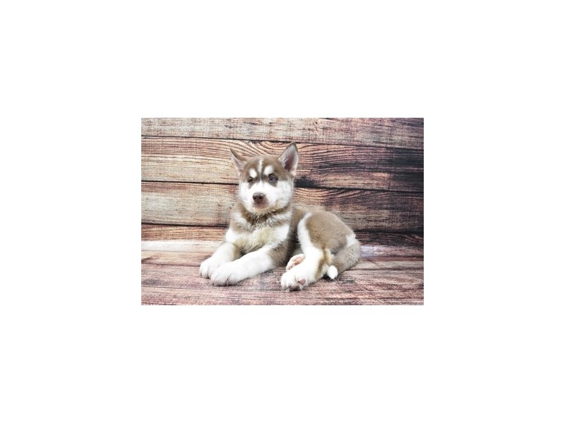 Siberian Husky-Male-Red and White-2832598-Petland Knoxville