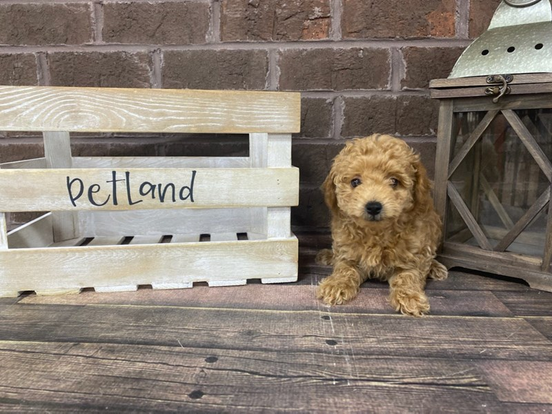 Poodle-Female-RED-2839321-Petland Knoxville