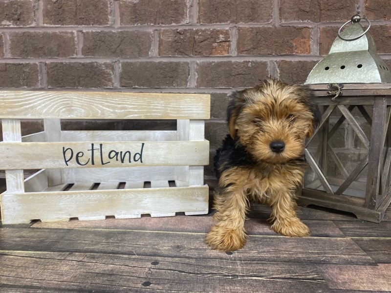 Yorkshire Terrier-Male-BLK TAN-2839023-Petland Knoxville