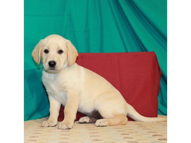 Labrador Retriever-Male-Yellow-2843517-Petland Knoxville