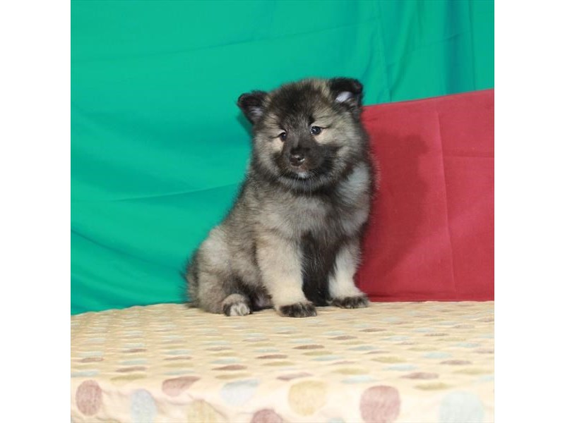 Keeshond-Female-Silver / Black-2850553-Petland Knoxville