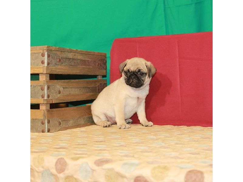 Pug-Female-Fawn-2812542-Petland Knoxville