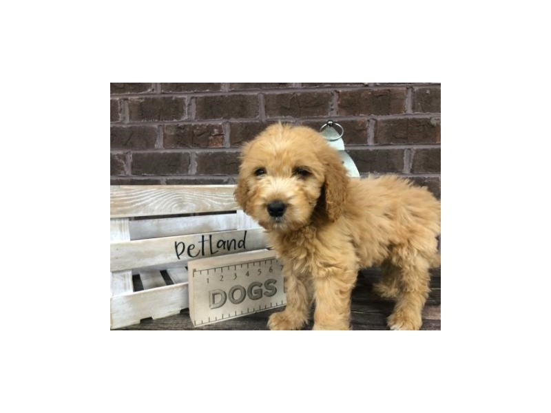 Goldendoodle-Male-Dark Red-2816862-Petland Knoxville