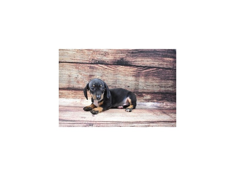 Dachshund-Male-Black and Tan-2832586-Petland Knoxville