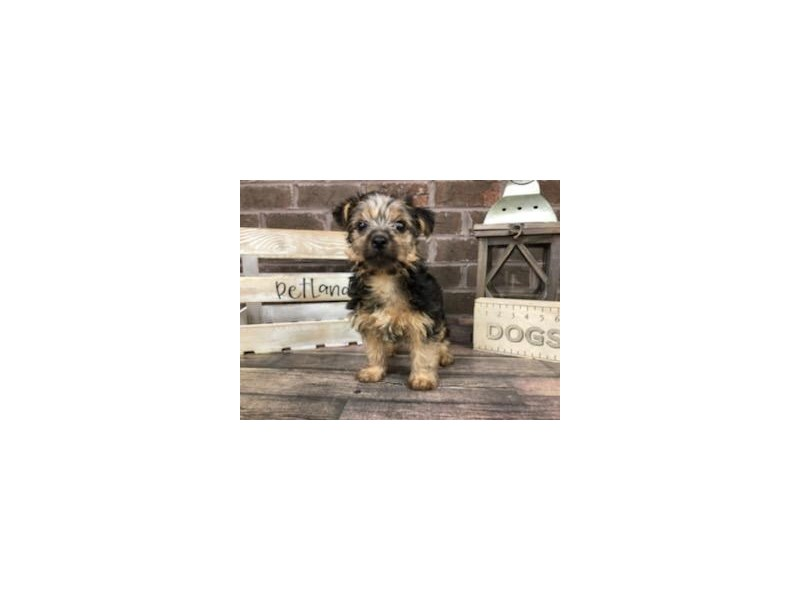 Yorkshire Terrier-Male-BLK TAN-2832898-Petland Knoxville