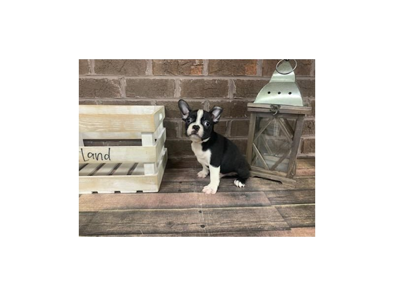 Boston Terrier-Male-BLK WH-2854196-Petland Knoxville