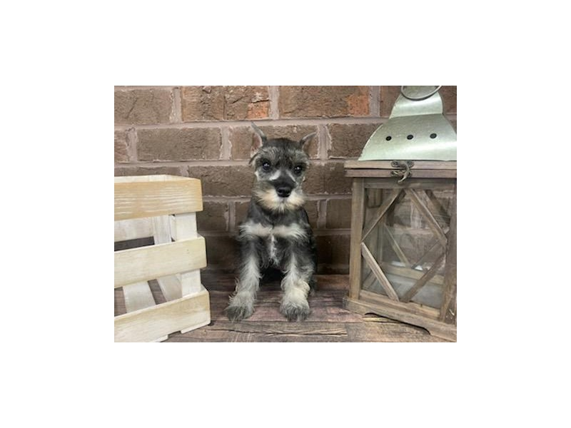 Miniature Schnauzer-Female-SALT PEPPER-2853920-Petland Knoxville