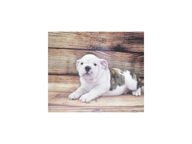 English Bulldog-Male-Red Brindle and White-2862804-Petland Knoxville