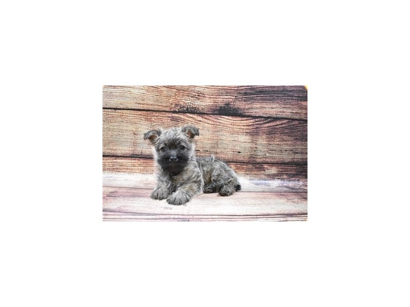 Cairn Terrier-Female-Silver Brindle-2870427-Petland Knoxville