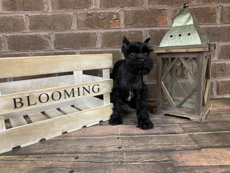 Miniature Schnauzer-Female-BLK WHITE-2868666-Petland Knoxville