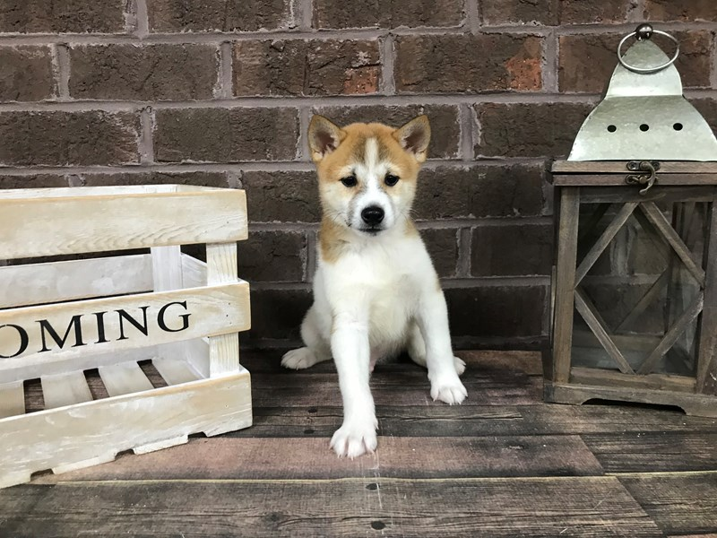 Shiba Inu-Male-Red Sesame-2872508-Petland Knoxville