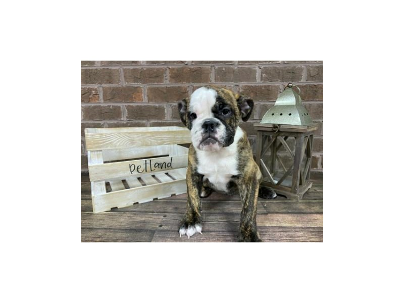 English Bulldog-Female-Brindle and White-2862803-Petland Knoxville