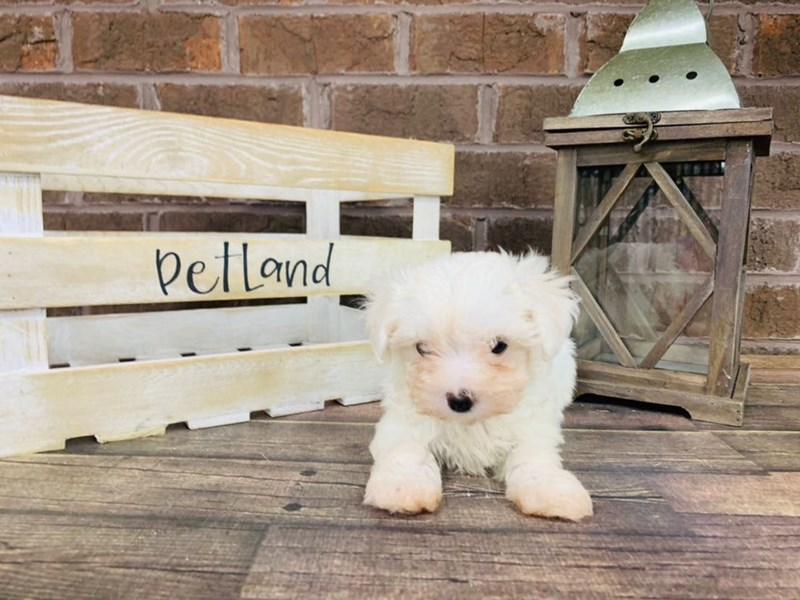 Maltese-Female-WHITE-2889607-Petland Knoxville