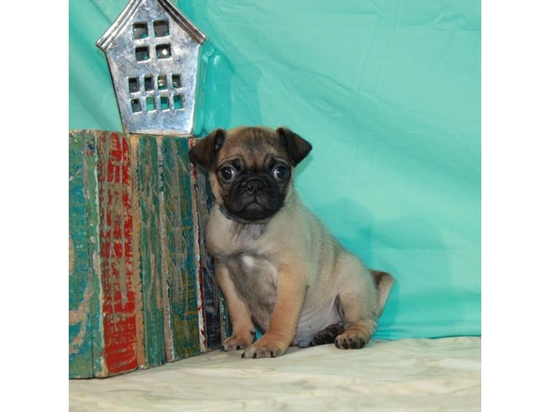 Pug-Male-Fawn-2912171-Petland Knoxville