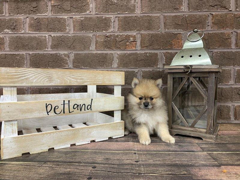 Pomeranian-Female-red sable-2850625-Petland Knoxville