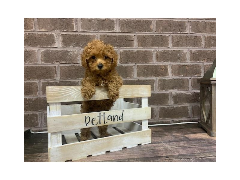 Poodle-Male-Red-2911170-Petland Knoxville