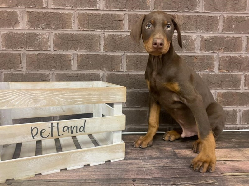 Doberman Pinscher-Male-Red and Rust-2907156-Petland Knoxville