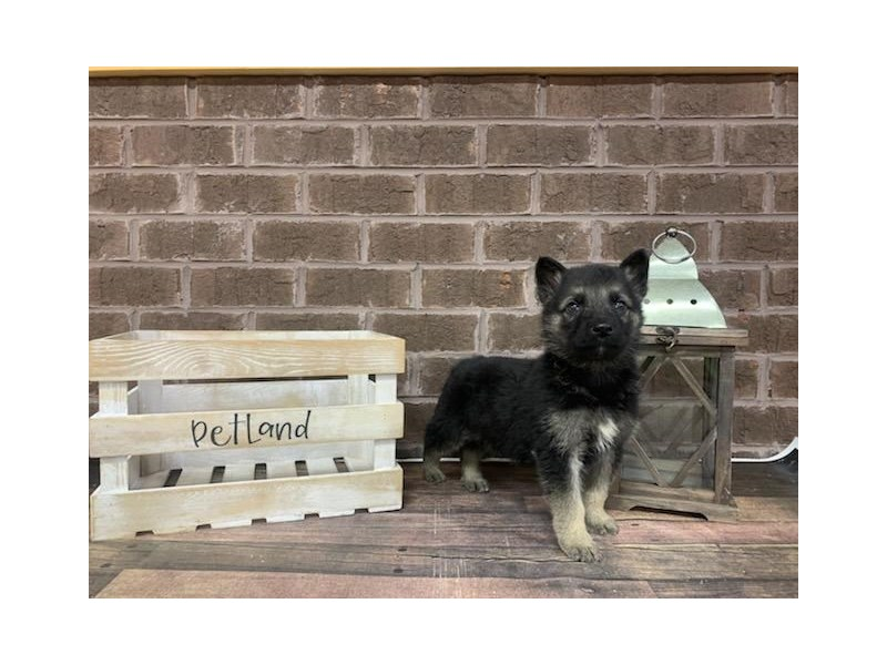 German Shepherd-Male-Black-2914020-Petland Knoxville