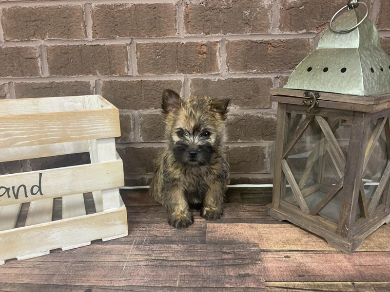 Cairn Terrier-Female-Wheaten-2912172-Petland Knoxville
