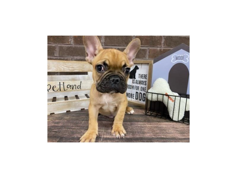 French Bulldog-Male-Fawn-2899873-Petland Knoxville