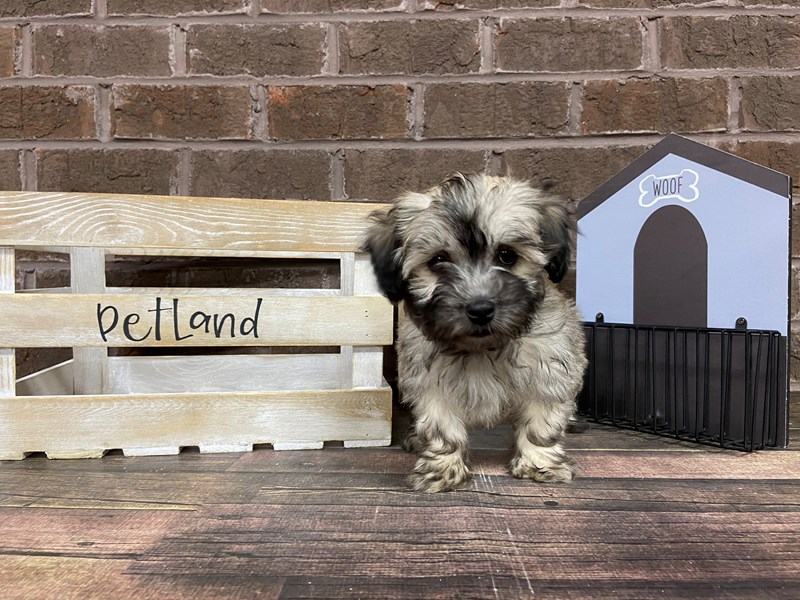 Havanese-Male-Gold-2919459-Petland Knoxville