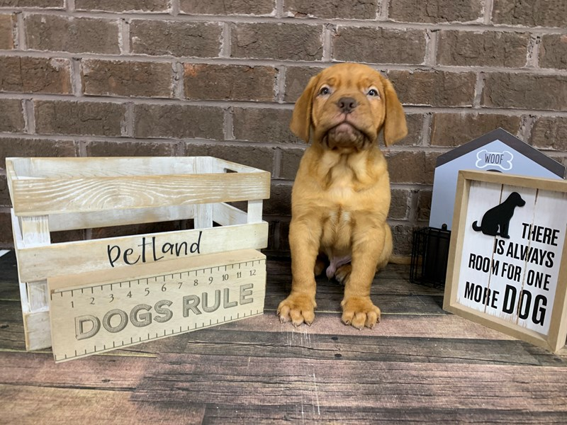 Dogue De Bordeaux-Male-Rd-2921128-Petland Knoxville