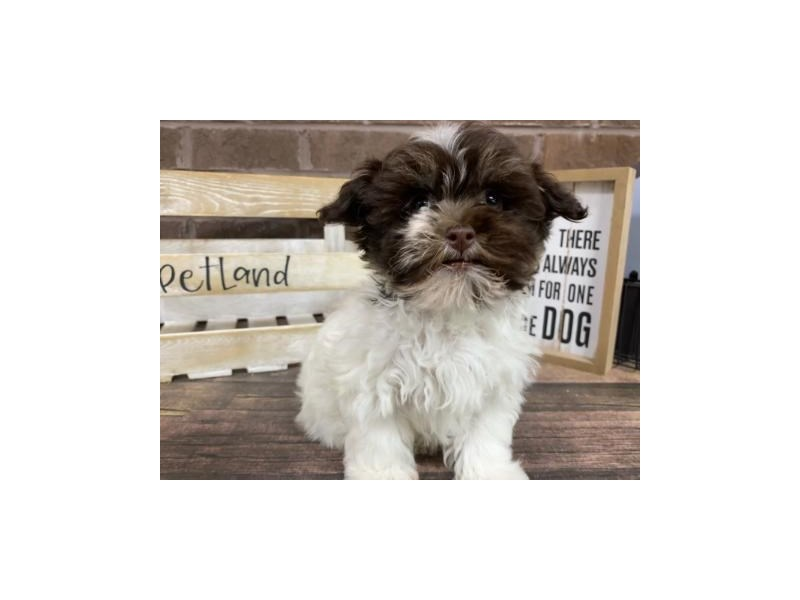 Havanese-Female-choc wh-2924748-Petland Knoxville