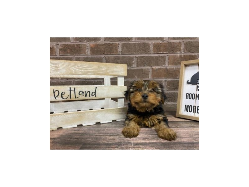 Yorkshire Terrier-Female-BLACK TAN-2924787-Petland Knoxville