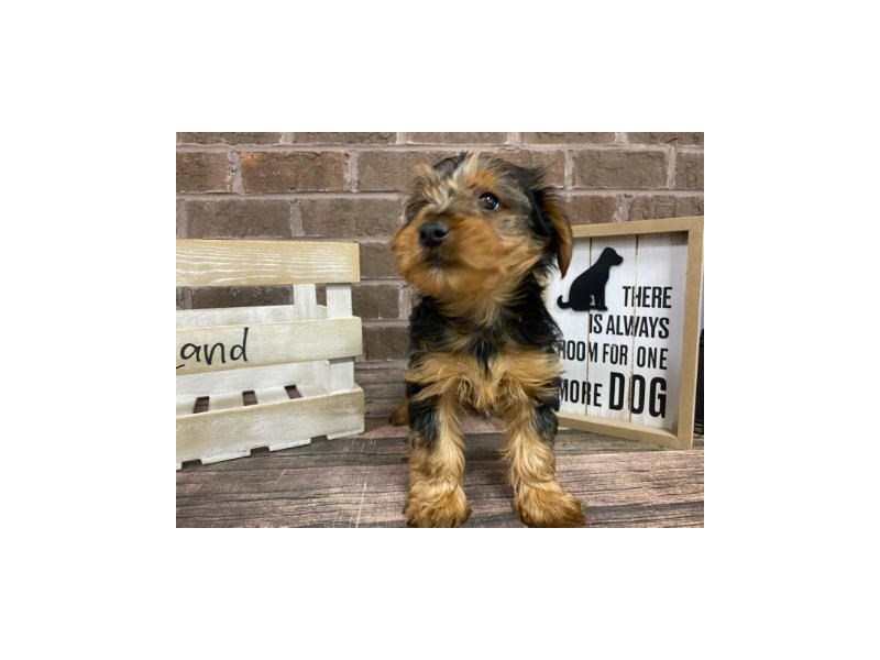 Yorkshire Terrier-Male-BLACK TAN-2924786-Petland Knoxville