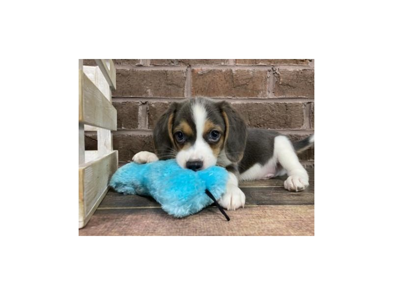 Beagle-Male-Gray and White-2927831-Petland Knoxville