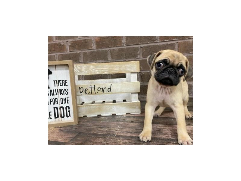 Pug-Male-Fawn-2928492-Petland Knoxville