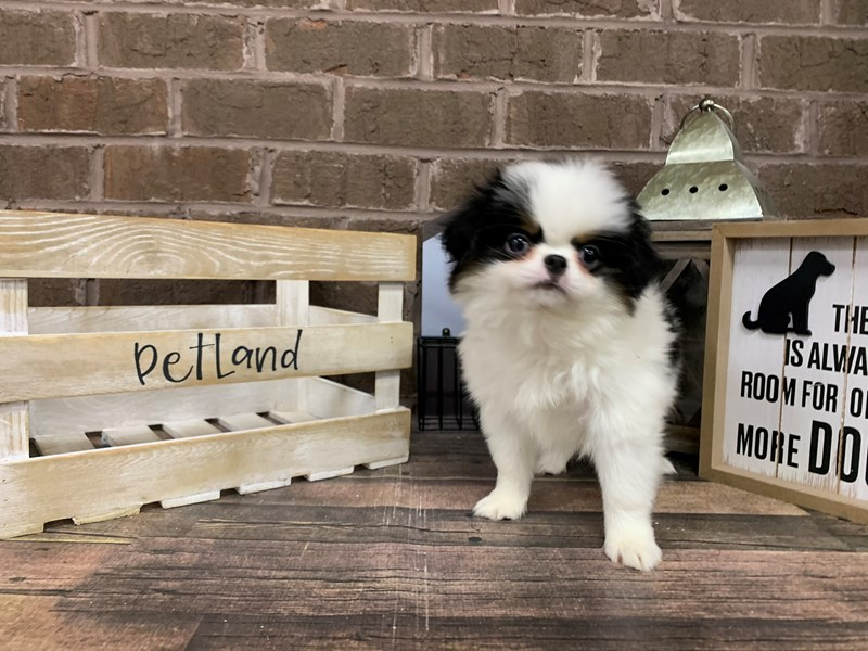 Japanese Chin-Male-Black/white-2936553-Petland Knoxville