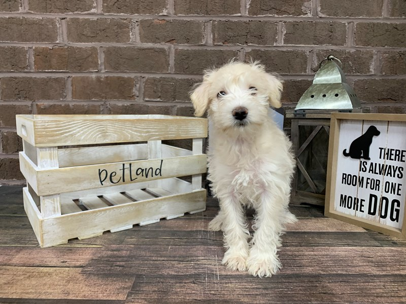 Schnoodle-Male-White-2936543-Petland Knoxville