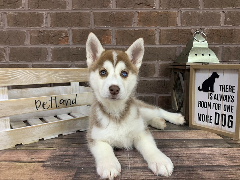 Siberian Husky-Female-Red/ White-2944016-Petland Knoxville