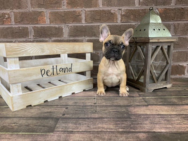 French Bulldog-Female-Fawn-2890888-Petland Knoxville