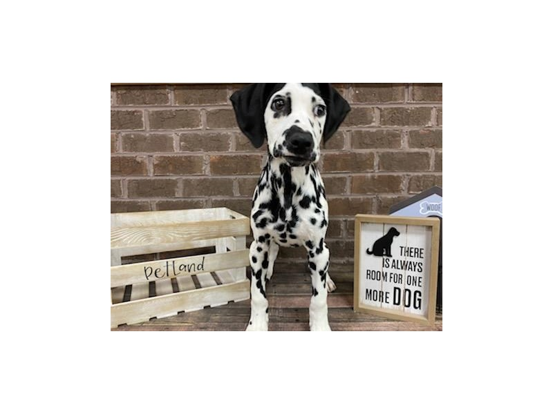 Dalmatian-Male-Black and White-2928411-Petland Knoxville