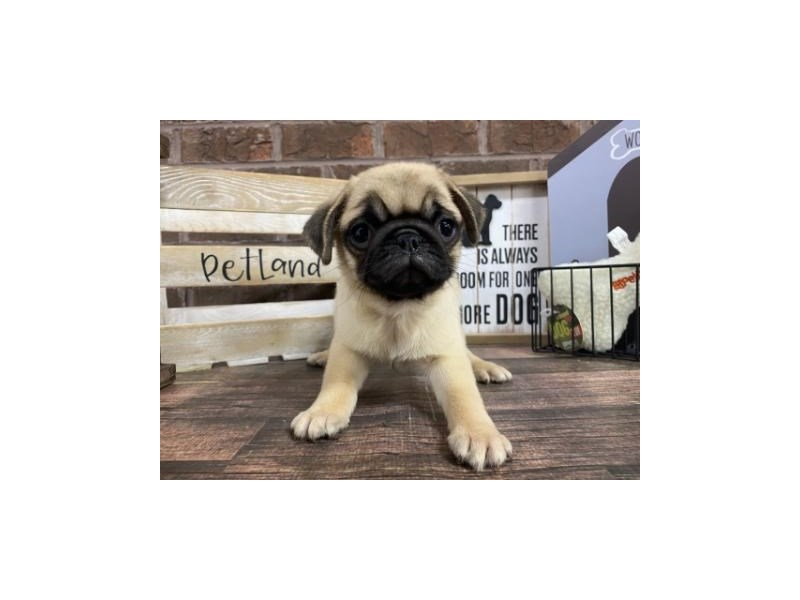 Pug-Female-Fawn-2944063-Petland Knoxville