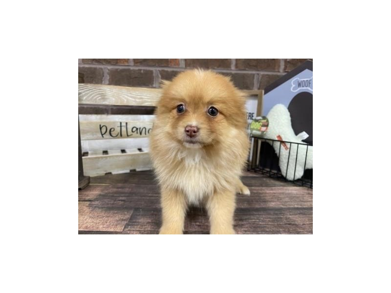 Pomeranian-Male-Red Merle-2944646-Petland Knoxville