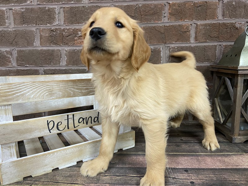 Golden Retriever-Male-Red-2950470-Petland Knoxville
